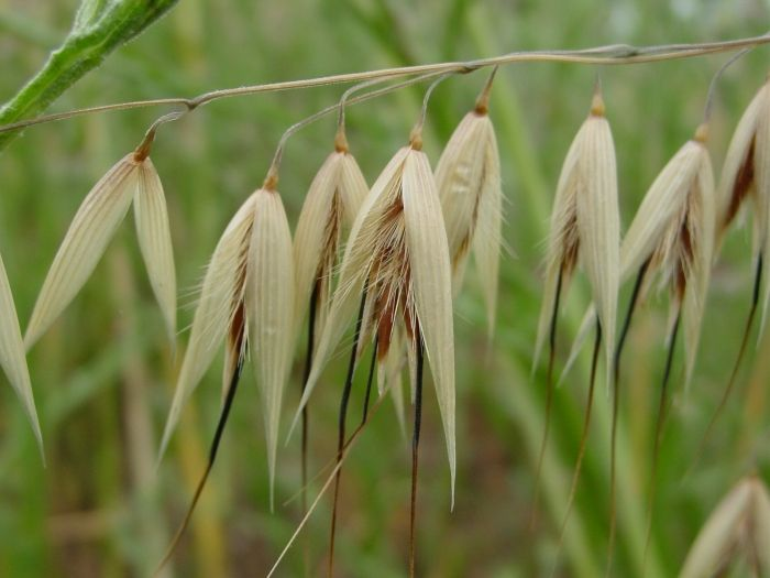 1000+ images about POACEAE on Pinterest.