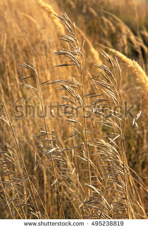 "wild Oat"" Stock Photos, Royalty."