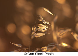 Stock Photography of Avena fatua, better known as Common Wild Oat.