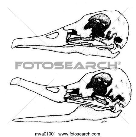 Clipart of Avian kinetic jaw mechanism mva01001.