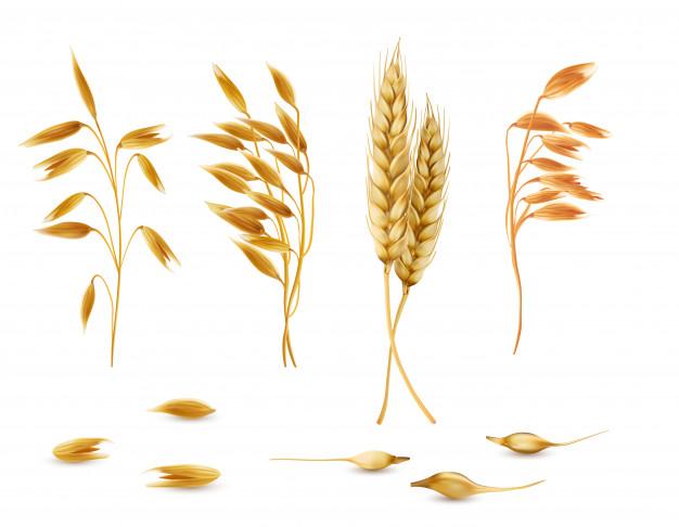 Ensemble de plantes de céréales, d\'épillets d\'avoine, d\'épis.