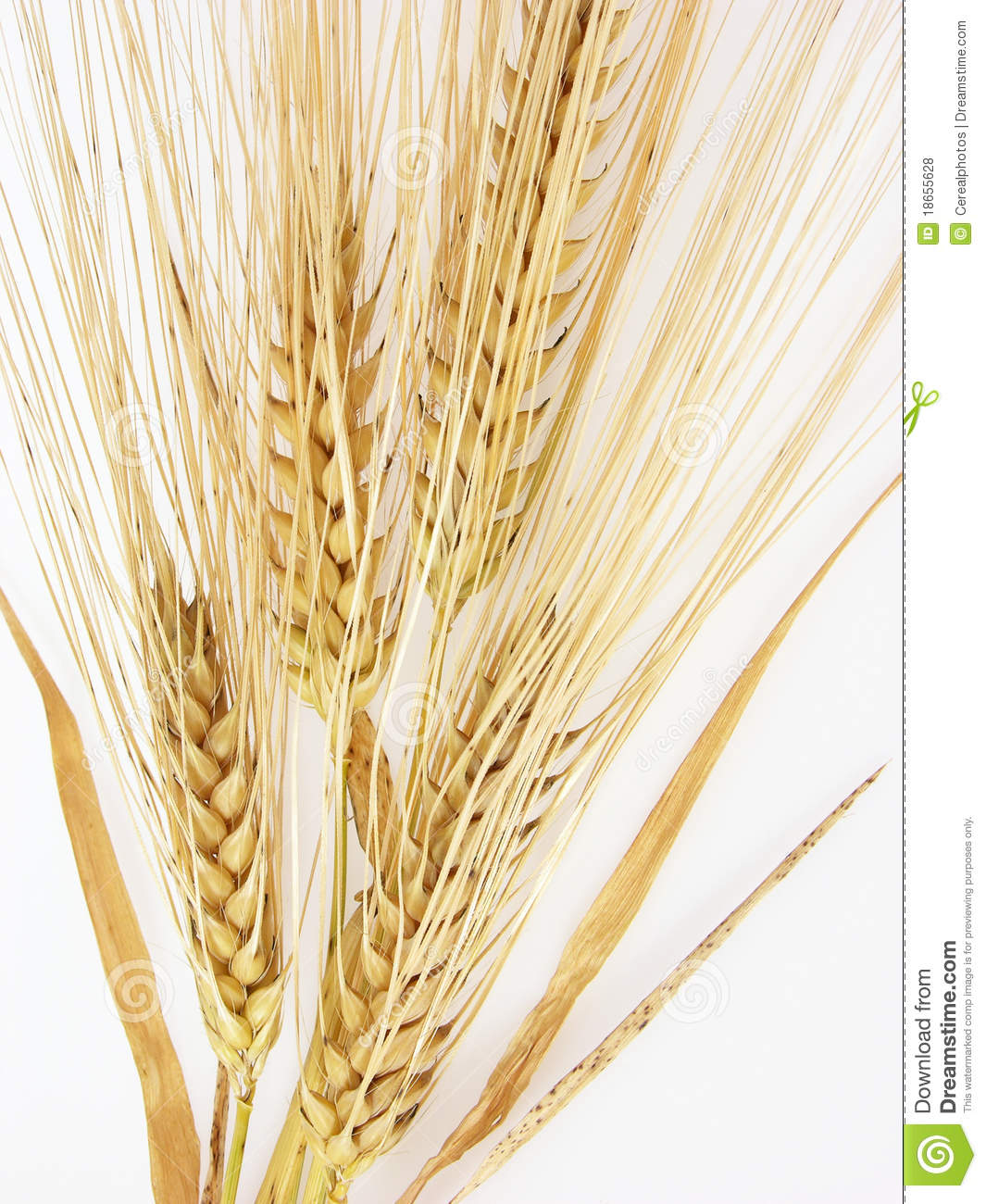 Sheaf Of Barley Clipart.