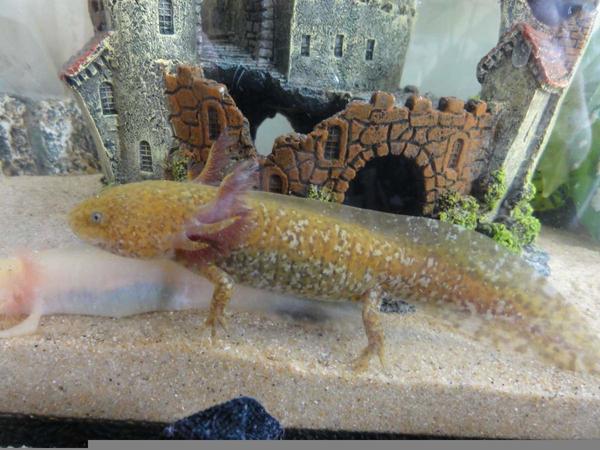 Fully Grown Axolotl.