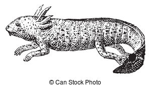 Axolotl Illustrations and Clipart. 54 Axolotl royalty free.