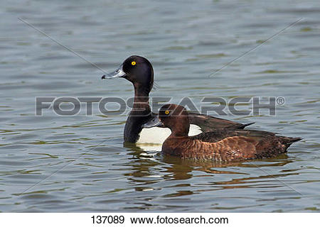 Stock Photograph of Tufted Ducks (male and female) in water.