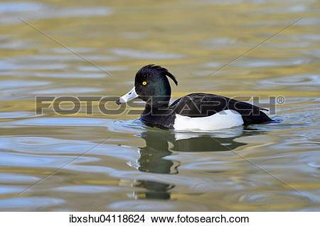 Stock Photo of Tufted Duck (Aythya fuligula), drake, Lake Zug.