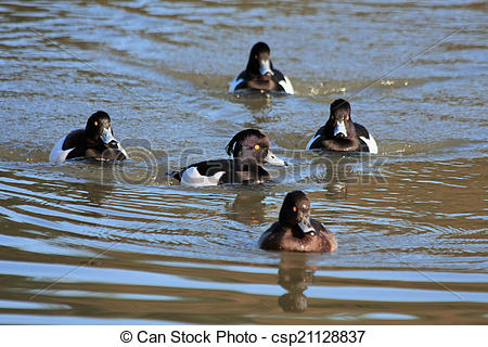 Stock Photos of Tufted Ducks (aythya fuligula) on the water at.