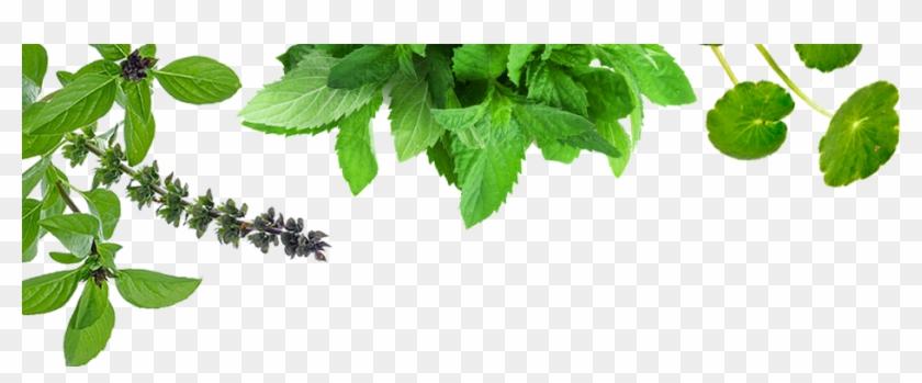 Ayurveda Leaf Png.