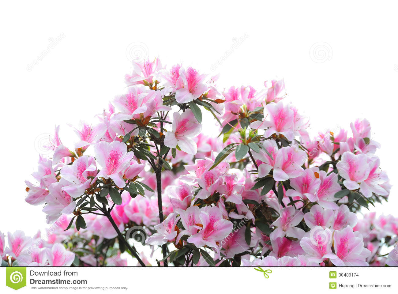 Pink And White Azalea Blooms Stock Images.
