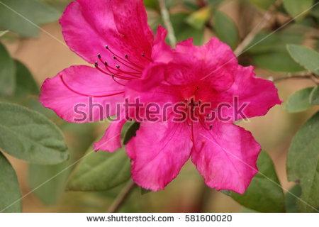 Azalea Flower Buds Stock Photo 581600020.