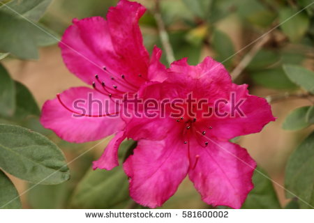 Azalea Flower Buds Stock Photo 581600020.