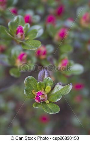 Stock Images of Azalea Flower Buds Opening.