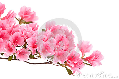 Azalea Flower Stock Photos, Images, & Pictures.