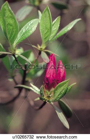 Stock Photo of heath family, flower, plants, plant, flowers, Royal.
