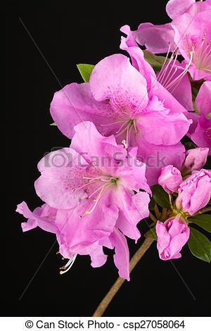 Stock Image of Azalea Lilac Encore flowers.