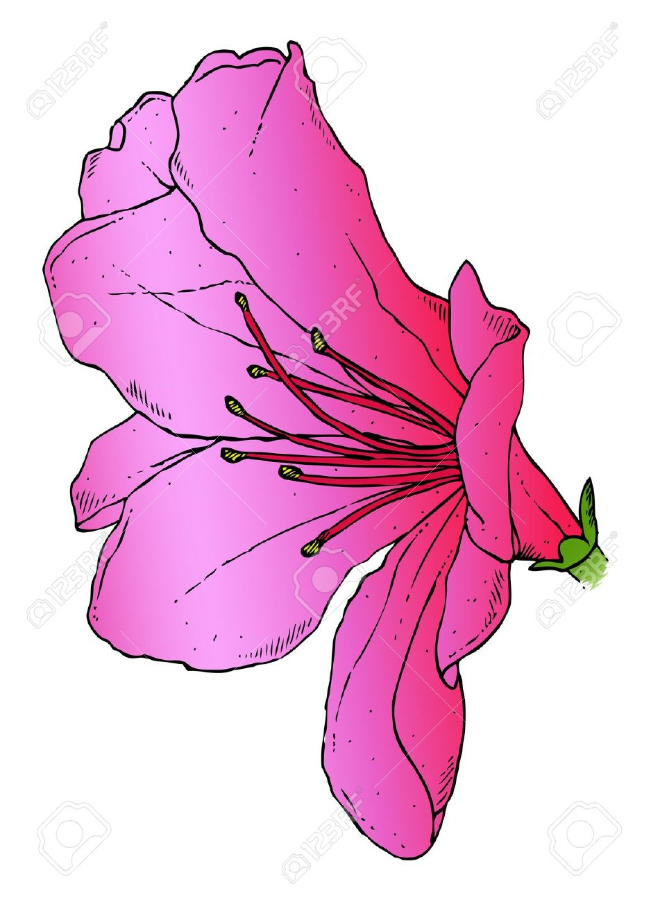 A Realistic Drawing Of A Pink Azalea Royalty Free Cliparts.
