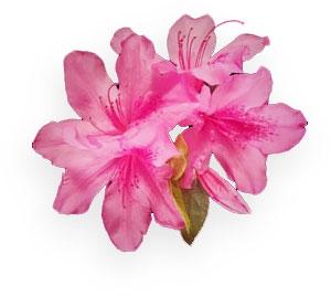 Azalea Flower Clipart.