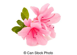 Azalea Images and Stock Photos. 4,383 Azalea photography and.
