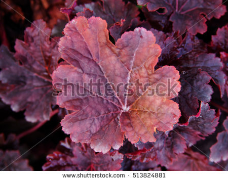 "coral Bells"" Stock Photos, Royalty."
