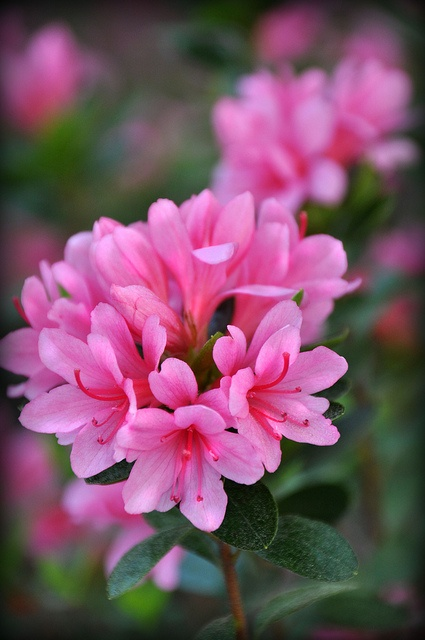 1000+ images about Azalées et Rhododendrons on Pinterest.