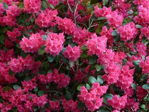 Azalea pictures free stock photos download (40 Free stock photos.