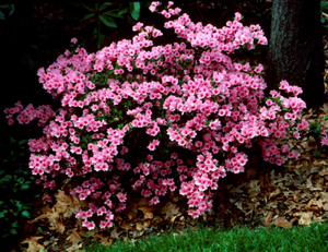 Selecting and Growing Azaleas.