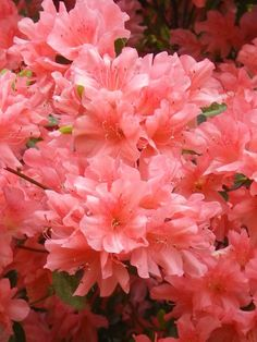 Coral salmon coloured azaleas..