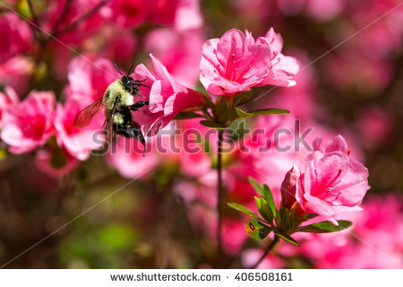 Rhododendron Hybrid Stock Photos, Royalty.