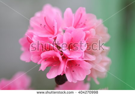 Pink Coral Bell Stock Photos, Royalty.