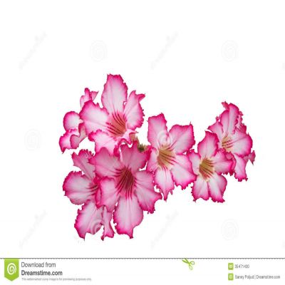 Azalea flower clipart no background.