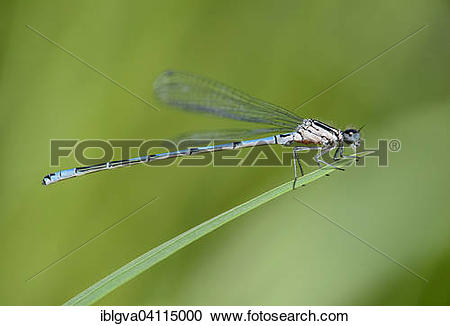 Stock Photography of Azure Damselfly (Coenagrion puella), male.