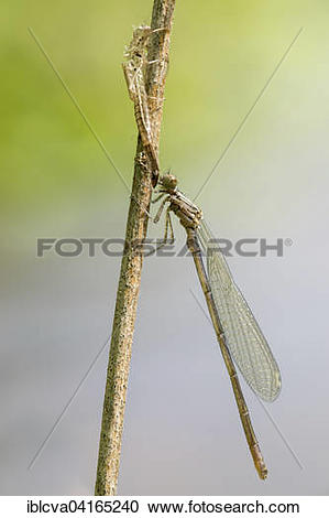 Stock Photography of Azure damselfly (Coenagrion puella) next to.
