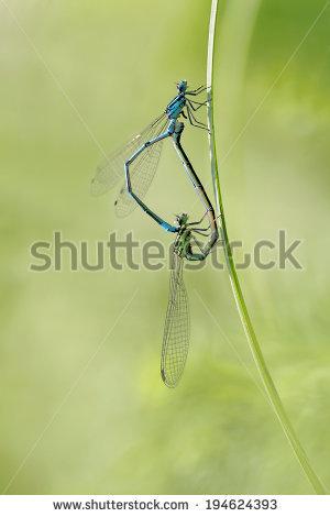 """azure Bluet"""" Stock Photos, Royalty."""
