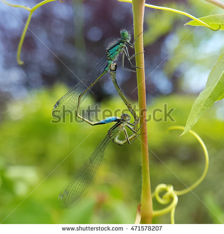 Azure Damselfly Stock Photos, Royalty.