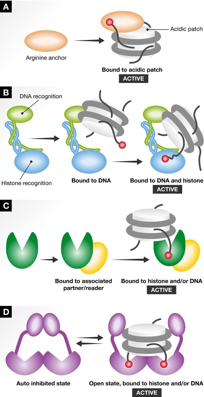 Touch, act and go: landing and operating on nucleosomes.