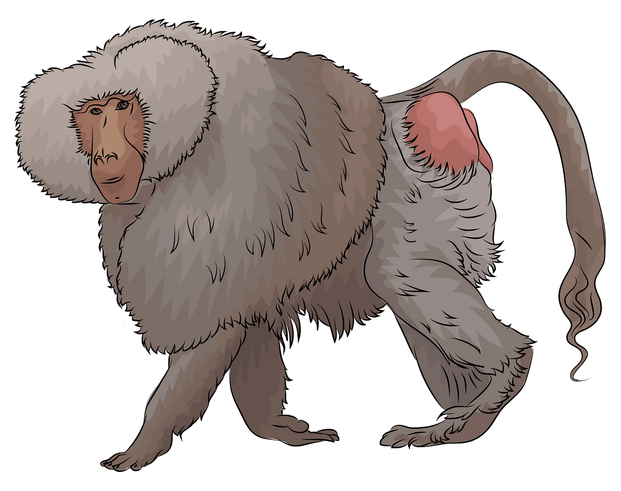 Male Hamadryas Baboon clipart. Free download..