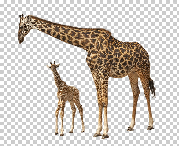 Giraffe Baby, adult giraffe and kid illustrations PNG.