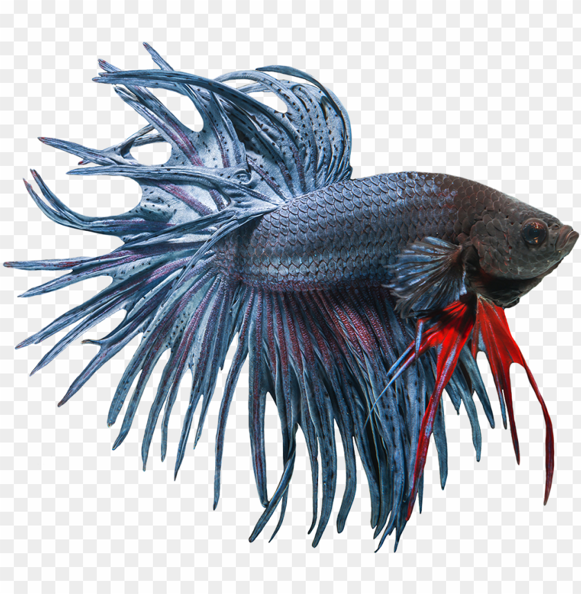 betta fish clipart freeuse download free.
