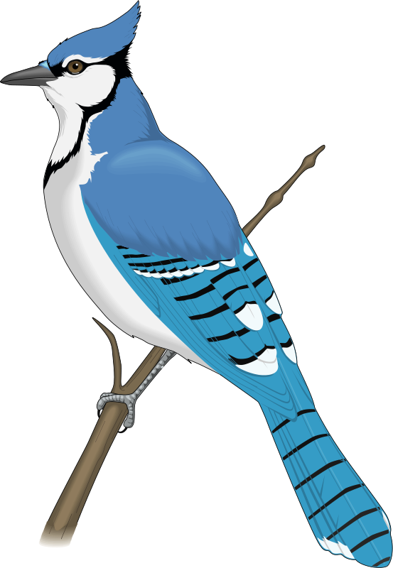 Blue Jay Clipart at GetDrawings.com.