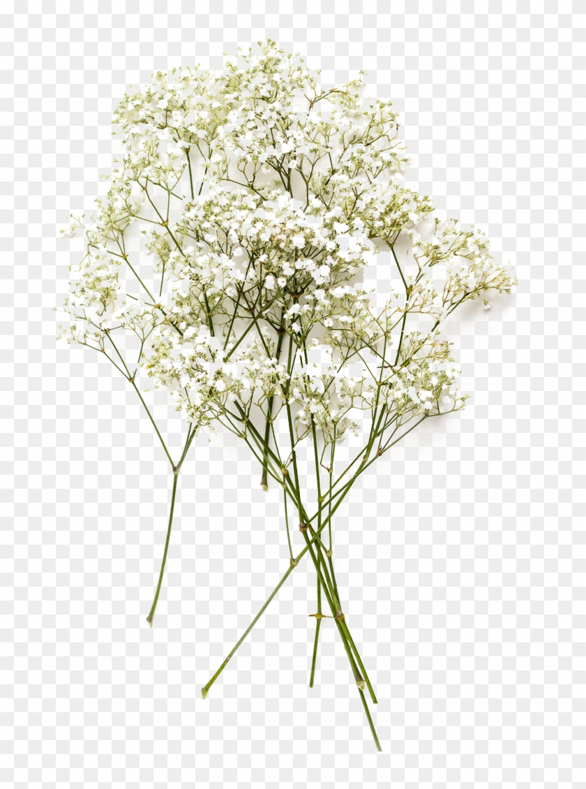 Baby's Breath Flower Png, Transparent Png.