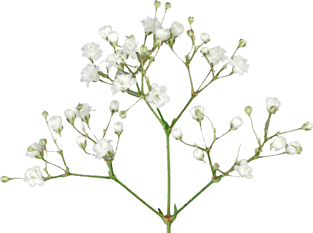 HD Baby's Breath Flowers Png Free Pic.