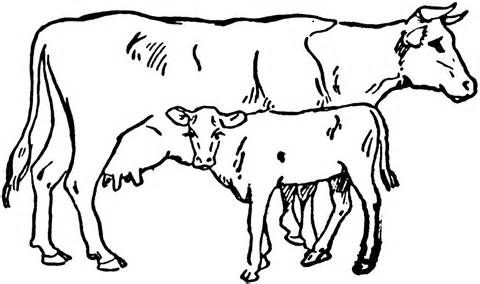 Angus Beef Cow Coloring Pages Coloring Pages.