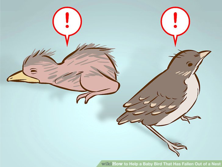 How to Help a Baby Bird That Has Fallen Out of a Nest: 14 Steps.
