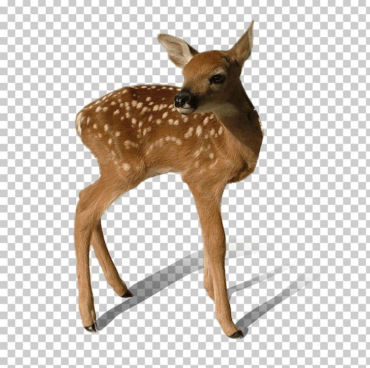 Baby Deer Standing PNG, Clipart, Animals, Deer Free PNG Download.