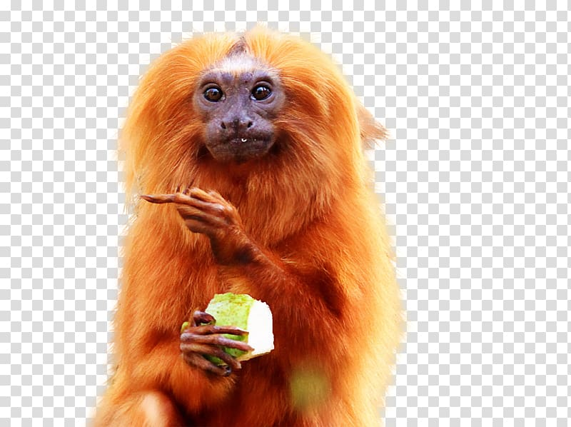 Golden lion tamarin Golden.