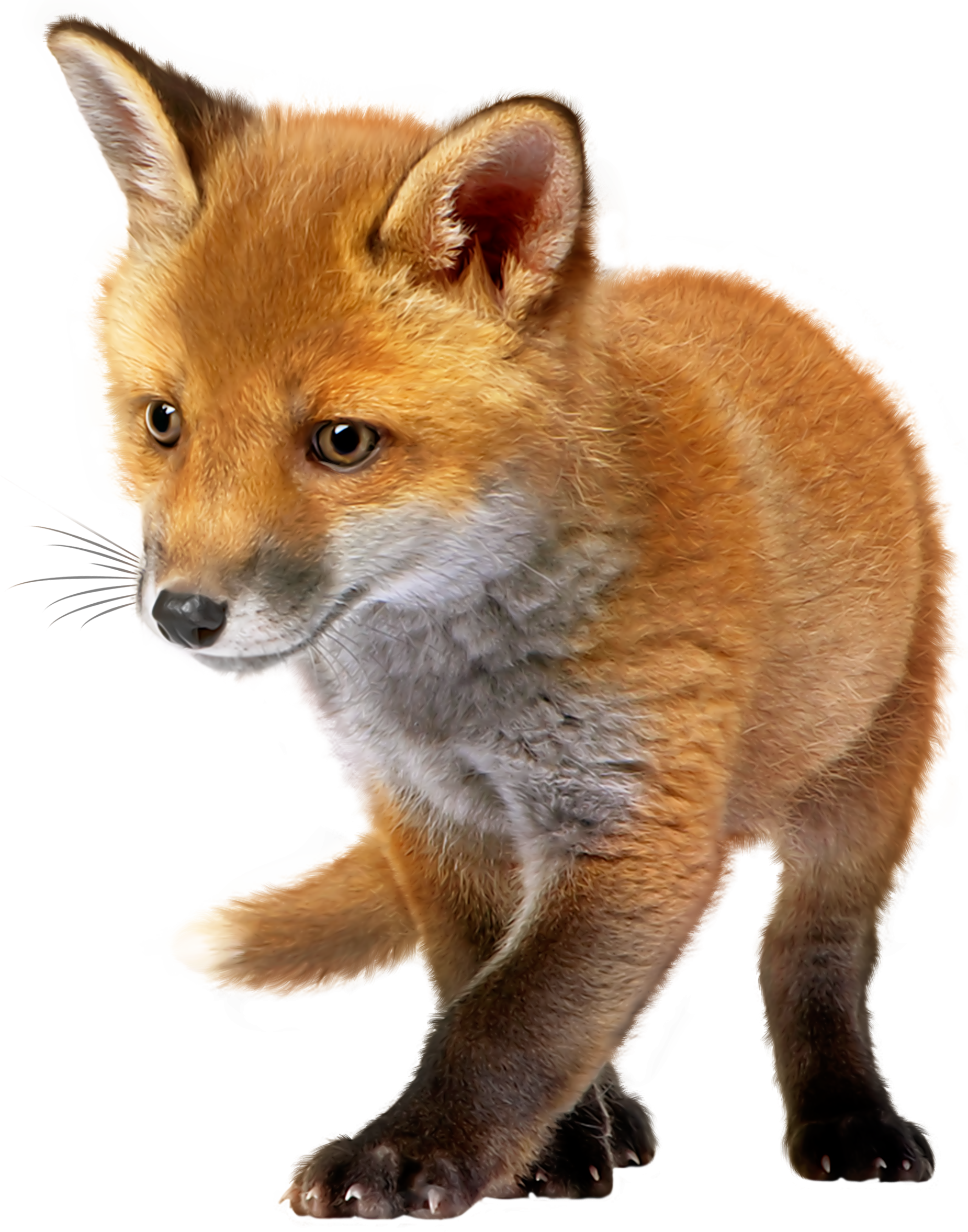Baby Fox Png & Free Baby Fox.png Transparent Images #49496.