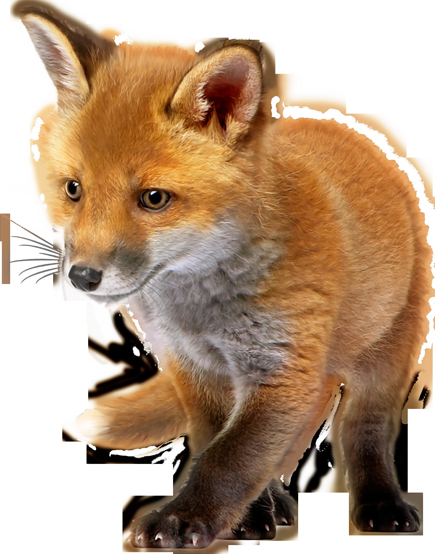 Baby Fox PNG Clip Art.