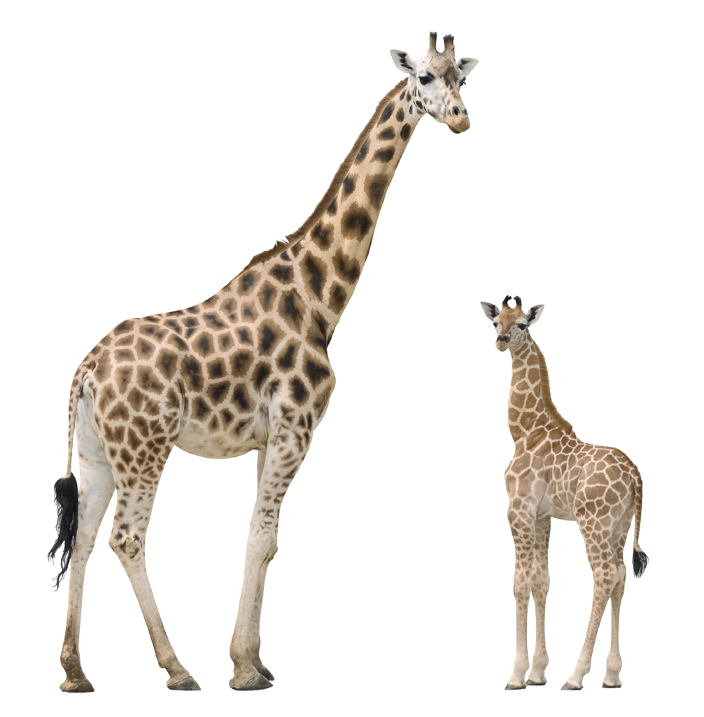 Clipart giraffe mother baby giraffe, Clipart giraffe mother.