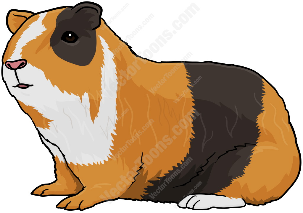 Mixed Brown Guinea Pig.