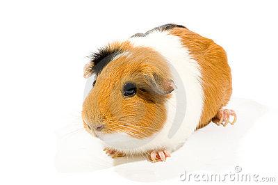 Guinea pig clipart free.